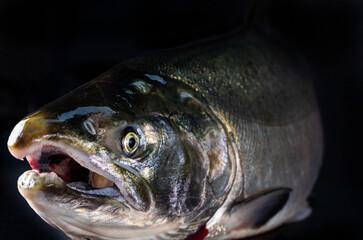 Fresh, wild Coho buck salmon isolated on black background