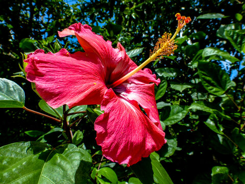 Pink hibiscus flower with green background