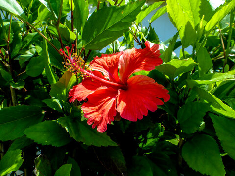 Red hibiscus flower with green background