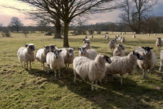 sheep in field in countryside on farm