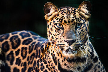 A close-up of a beautiful leopard at a zoo.