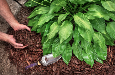 Closeup man's hands spreading brown bark mulch around hosta plant in garden, hostas, landscaping, decorative, shade plant, planting, close-up, yard, lawn, moisture