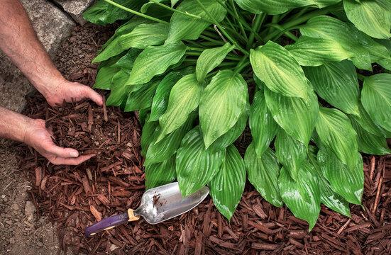 Closeup man's hands spreading brown bark mulch around hosta plant in garden, hostas, landscaping, decorative, shade plant, planting, close-up, yard, lawn, moisture
