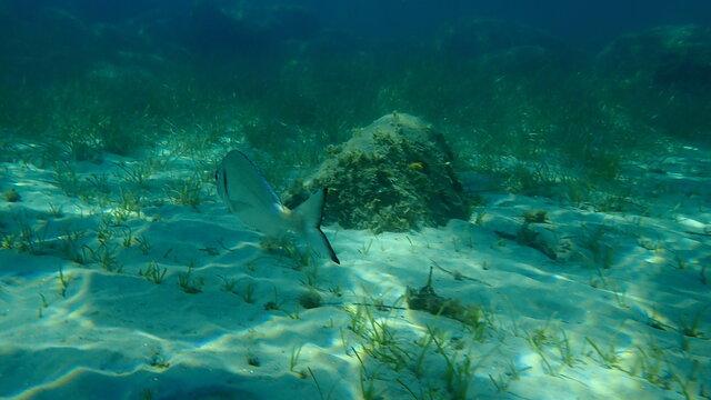 Gilthead seabream (Sparus aurata), Orata, Dorada undersea, Aegean Sea, Greece, Halkidiki