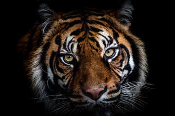Photo sur Plexiglas Tigre Portrait of tiger with a black background