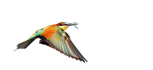 colorful bird flying with dragonfly in beak isolated on white