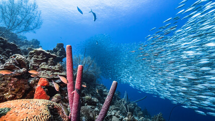 Bait ball / school of fish in turquoise water of coral reef in Caribbean Sea / Curacao with Stove-Pipe Sponge