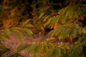 Obraz Autumnal leaves in blurred background. Autumnal Park. Autumn Trees and Leaves - fototapety do salonu