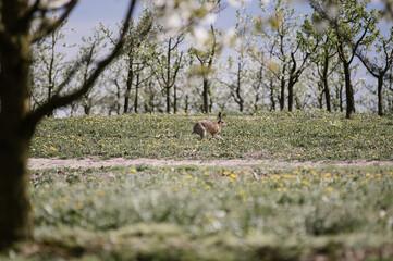 Fototapeta Zając w sadzie pośród traw i drzewek obraz