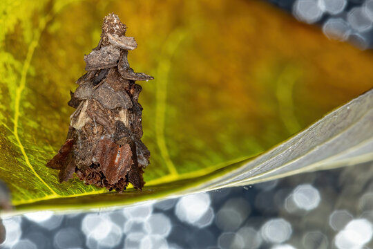 Bagworm Moth of the Family Psychidae