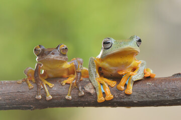 Two frog on branch