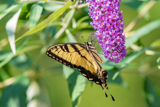 Yellow swallowtail butterfly perched on purple flowers of butterfly bush in garden on sunny summer day