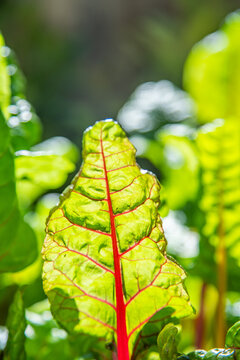 Red and yellow swiss chard leaves at organic gardens - Organic produce in the home made vegetable garden