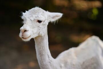close up of a white llama
