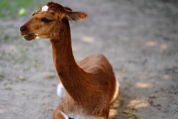 young llama lama