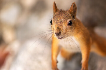 Funny red squirrel with a cute face close up