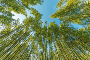 Bottom view of tall bamboo tree in evergreen forest of Arashiyama, Kyoto, Japan