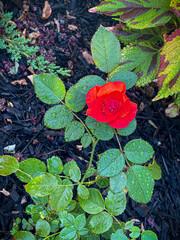 Raindrops and Rose