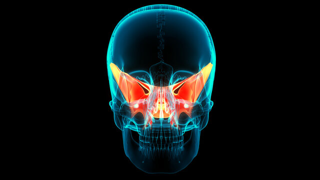 Human Skeleton System Skull Bone Joints Sphenoid Bone Anatomy