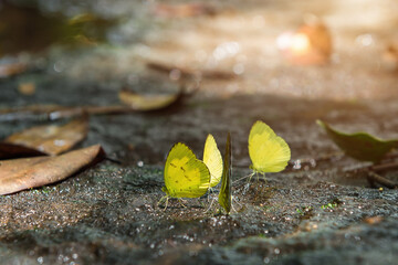 Yellow butterfly on stone of waterfall in nature.