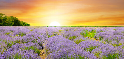 A field with blooming lavender and a bright sunrise. Agricultural plantations. Wide photo.
