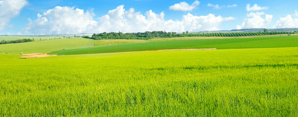 Green field full of wheat and blue sky. Wide photo.