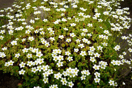 Flowers of Sagina subulata blooms in the garden on a sunny day. Alpine Pearlwort.