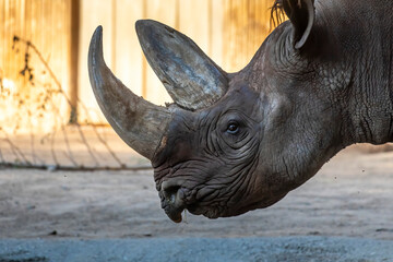 A rhino in a zoo, walking around in its outdoor enclosure at a sunny day in summer.
