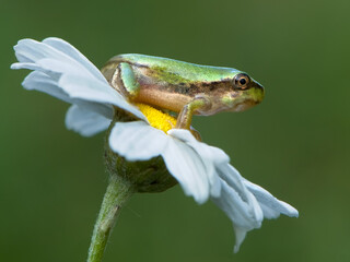 Little green frog Hyla arborea sits on a flower by the lake a summer morning