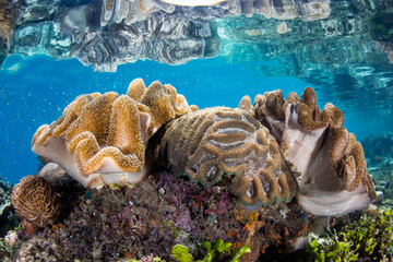 Wall Mural - A wide variety of corals thrive in shallow water in Raja Ampat, Indonesia. This magnificent region harbors spectacular marine biodiversity and is a popular destination for divers and snorkelers.