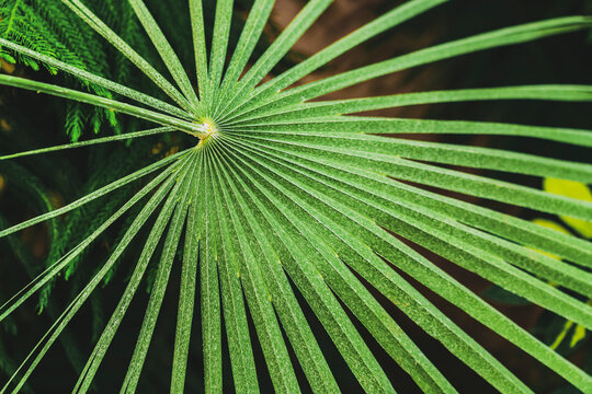 Green Leaves Of Chamaerops Humilis In Botanical Garden