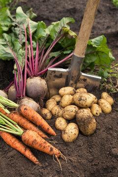 Bunch of organic beetroot and carrot, freshly harvested potato on soil in garden. Autumn harvest of vegetables, farming
