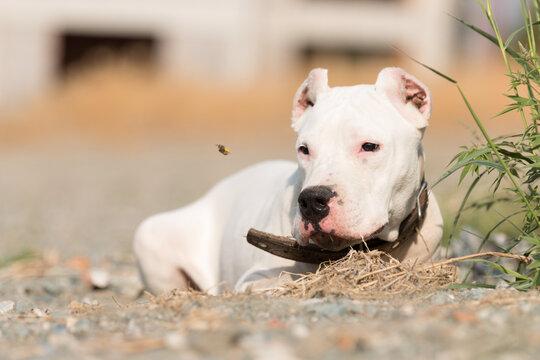 dogo argentino portrait outdoors. Dog photos