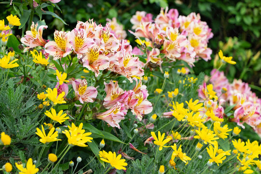 Pink and yellow Peruvian lily flowers in a garden
