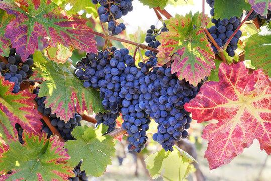 Weintrauben im Sonnenlicht, kurz vor der Ernte.