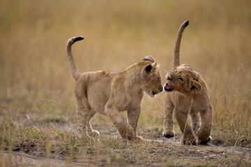 Lion Cubs, Masai Mara Game Reserve, Kenya Wall mural