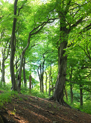 tall forest beech trees with vibrant green summer leaves on a hillside in crow nest woods in west yorkshire
