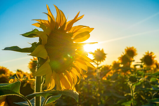 Sunflower field in the Midwest in full bloom at sunset in France