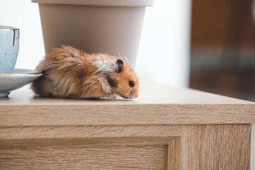 Poster Snelle auto s Curious funny hamster on table