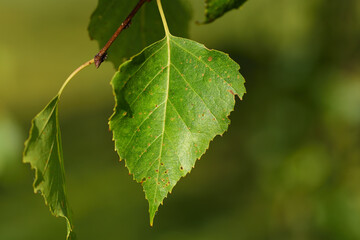 Close-up of a green autumn birch leaf hanging from the tree against a green background