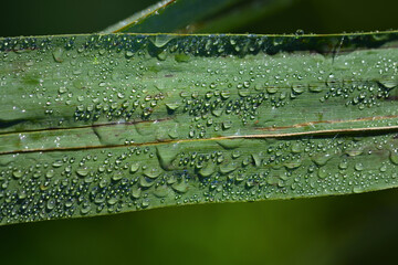 Close-up of a green long leaf with droplets of water hanging on it, against a green background