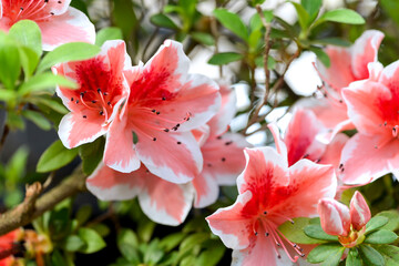 pink and white azalea flowers