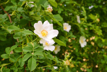 Blooming dog rose plants close up