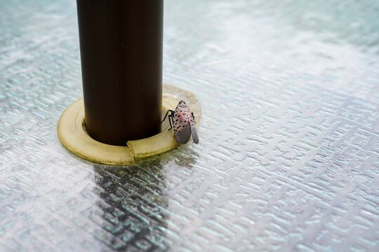 Spotted Lantern fly on Patio table