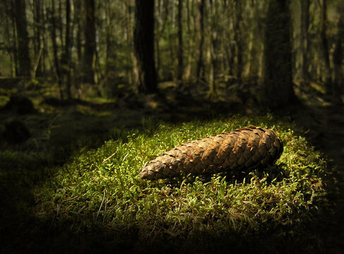 Pine Cone lying on a patch of moss in deep Scandinavian forest. A Ray of light pass through the foliage to enlighten the cone that looks like a hidden treasure.