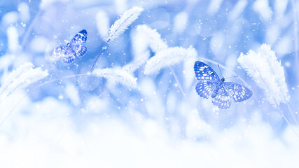 Beautiful butterflies in the snow on the wild grass on a blue background. Snowfall Artistic winter christmas natural image. Winter and spring background. Free space for text.