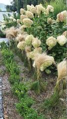 Ogród jesienią z hortensja mi bukietowy mi i trawa ostnica - fototapety na wymiar