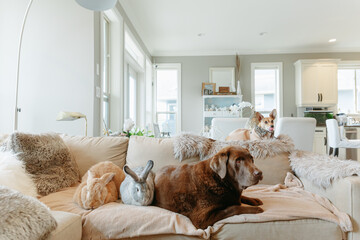 Fluffy bunnies rabbits with dogs cuddling on couch