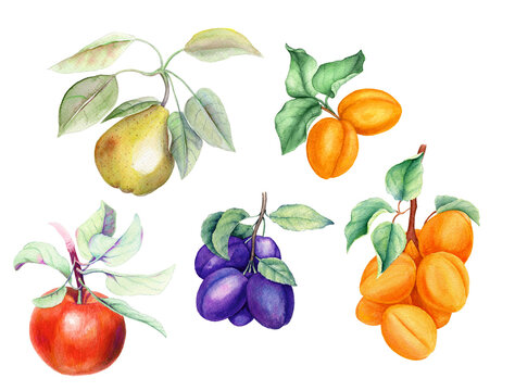 Set of fruits: apricot, pear, apple and plum branches on a white background watercolor illustration