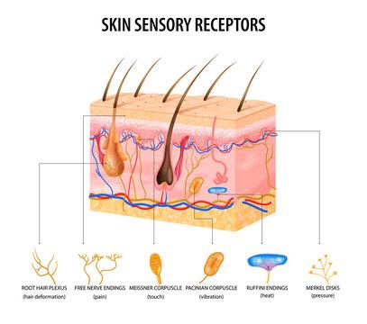 Sensory Receptors Concept